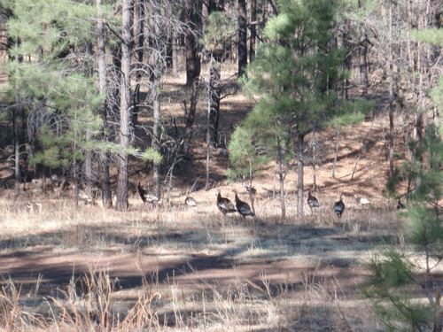 Wild Turkey, Gila NF, NM.